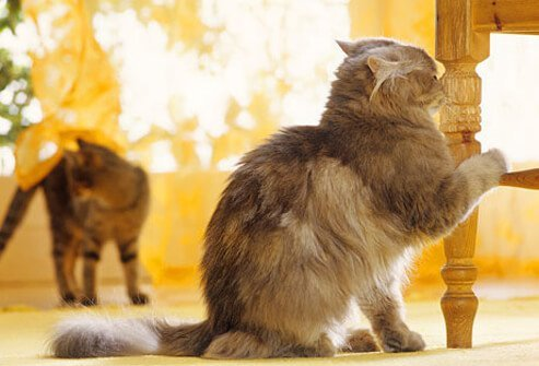 Cats urine marking and spraying are a problem.