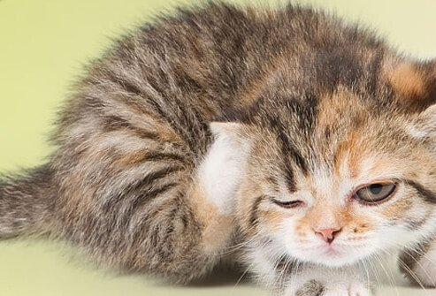 Kitten scratching with hind leg