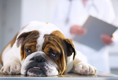 Photo of sick bulldog at vet.