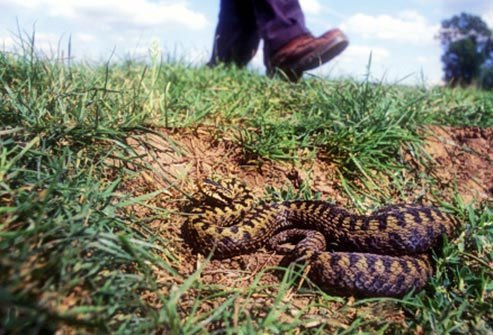 Even if your odds of death are fairly low, nobody wants to go through the agony of a venomous snakebite.