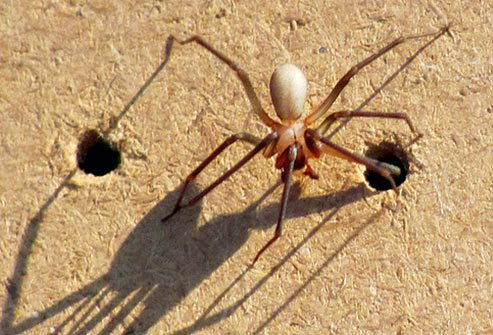 No deaths from brown recluse spiders in the United States have ever been verified.