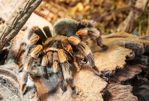 Although large and scary, tarantulas are not particularly harmful to people.