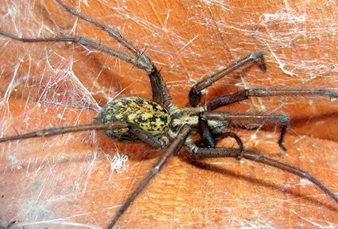 Frequently blamed for serious skin reactions, hobo spiders are actually mostly harmless to humans.