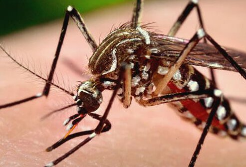 Mosquitoes may carry viruses like West Nile virus, dengue fever, and other illnesses.