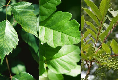 A brush with poisonous plants can produce a painful, red, itchy and swollen rash.