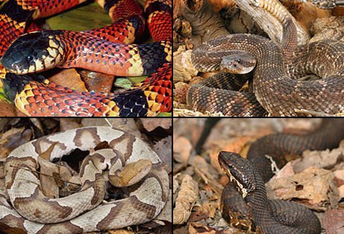 Venomous snakes can inflict painful bites that may lead to serious symptoms.