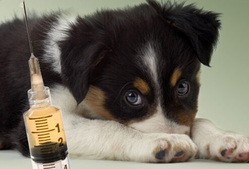 Scared Puppy Looking at Syringe.