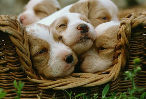 Basket Full of Cute Puppies.