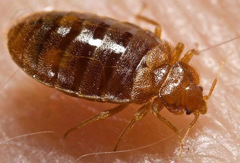 They cause itchy red bites on the face, neck, arms, hands, or other body parts.