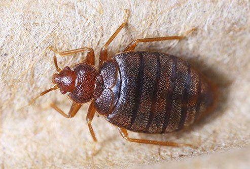 Furniture, wallpaper, mattresses, and clutter provide nesting spots for these small, flat insects.